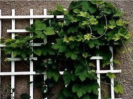 Вертикальное озеленение приусадебного участка