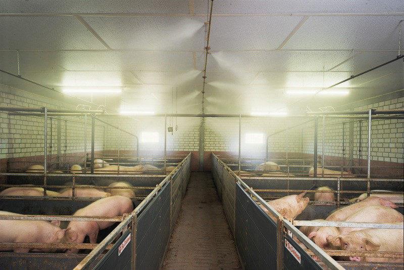 Применение туманообразующих систем в свиноводстве